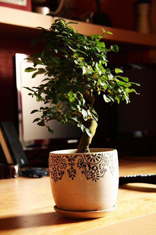 bonsai_ficus_indoor