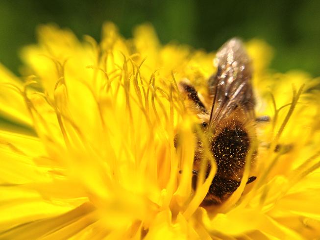 Eine Biene in einer Blüte.